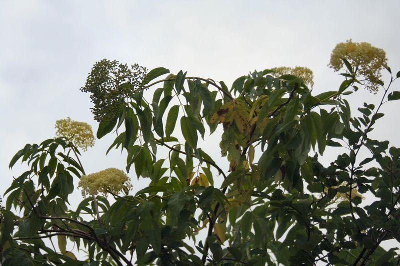 Elderflowertrees
